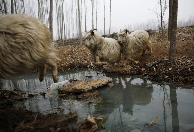 Goats jumps to cross a stream as they are driven by a herdsman at Dashiwo village, on the outskirts of Beijing January 26, 2015. The Chinese Lunar New Year on February 19 will welcome the Year of the Sheep (also known as the Year of the Goat or Ram). (Photo by Kim Kyung-Hoon/Reuters)