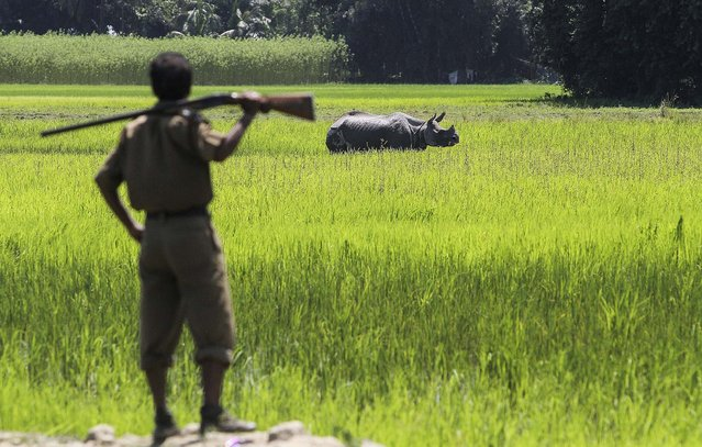 A forest guard looks at an one-horned rhinoceros in a paddy field at Rajbhoral village in Sonitpur district of Assam state, India, on August 20, 2013. The Rhino strayed away from the nearby Kaziranga National Park. Assam is home for the world's largest concentration of rhinos. (Photo by Anupam Nath/Assoicated Press)