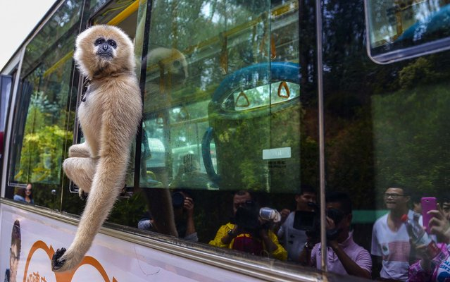 A gibbon named Lele looks out of a window on a bus which travels to the Yunnan Wildlife Park in Kunming, on September 25, 2013. The new bus line to the park began its trial run accompanied by some animal stars from the park as a promotional campaign (Photo by China Daily)