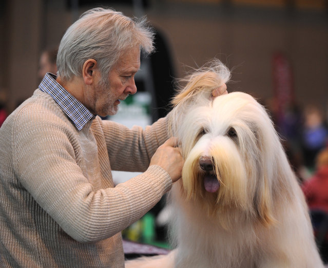 A bearded collie is prepared for competing on the second day of Crufts dog show at the National Exhibition Centre in Birmingham, England, Friday March 6, 2015. First held in 1891, Crufts is said to be the largest show of its kind in the world, the annual four day event features thousands of dogs competing for the coveted title of 'Best in Show'. (AP Photo/Rui Vieira)