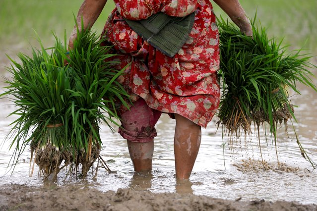 A farmer carries rice samplings as she prepares to plant them on a field, a day ahead of National Paddy Day, also called Asar Pandra, that marks the commencement of rice crop planting in paddy fields as monsoon season arrives in Bhaktapur, Nepal on June 28, 2021. (Photo by Navesh Chitrakar/Reuters)