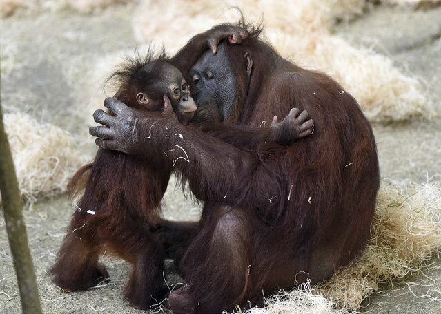 In this March 18, 2015 photo provided by the Chicago Zoological Society, Kecil, a 1-year-old orangutan, hugs his surrogate mom, Maggie, at Brookfield Zoo's Tropic World in Brookfield, Ill. Since his arrival in June 2014, Kecil has been behind the scenes bonding with Maggie, as well as developing the skills he'll need before having access to the habitat in Tropic World. (Photo by Jim Schulz/AP Photo/Chicago Zoological Society)