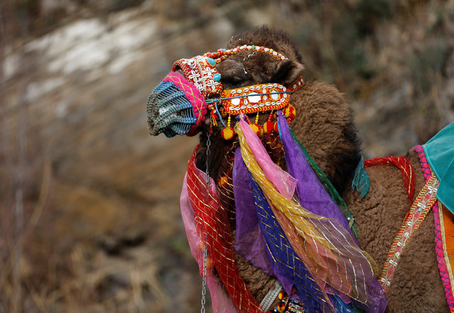 A wrestling camel adorned with colourful ornaments waits for his fight at the Pamucak arena during the annual Selcuk-Efes Camel Wrestling Festival in the Aegean town of Selcuk, near Izmir, Turkey, January 15, 2017. (Photo by Murad Sezer/Reuters)