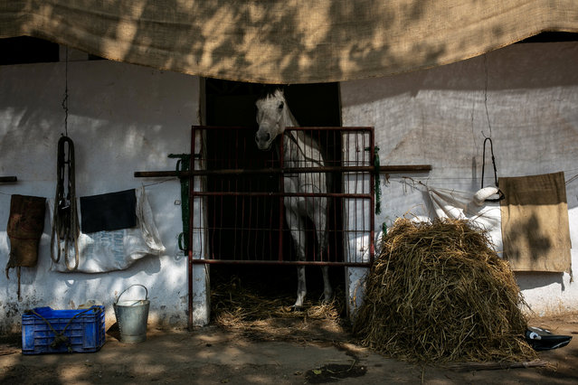 A horse stands inside a stable ahead of upcoming Derby race in Mumbai, India on January 31, 2019. (Photo by Danish Siddiqui/Reuters)