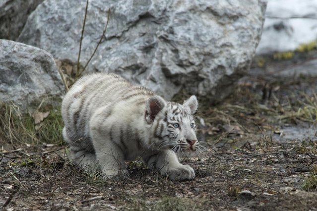 A white Bengal tiger cub plays in a zoo in the Siberian city of Novosibirsk, about 2,800 kilometers (1,750 miles) east of Moscow, Russia, Tuesday, April 21, 2015. (Photo by Ilnar Salakhiev/AP Photo)