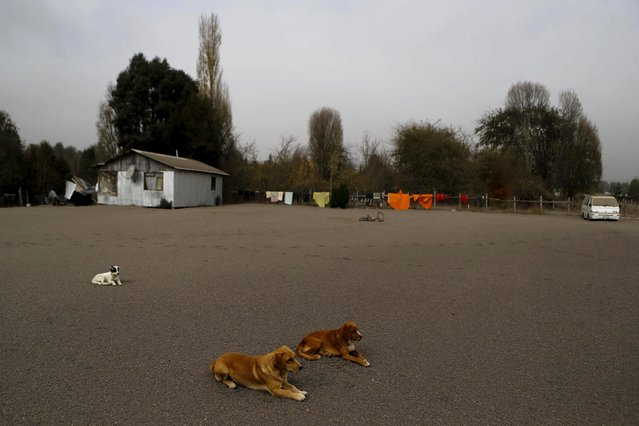 Dogs are seen on a street at Ensenada town which is covered with ashes from Calbuco volcano near Puerto Varas city, April 23, 2015. (Photo by Ivan Alvarado/Reuters)