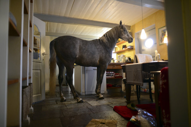 Nasar, an Arabian horse, stands in the kitchen in the house of doctor Stephanie Arndt on February 19, 2014 in Holt, Germany. (Photo by Patrick Lux/Getty Images)