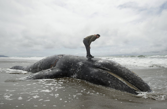 Duat Mai stands atop a dead whale at Ocean Beach in San Francisco, Monday, May 6, 2019. (Photo by Jeff Chiu/AP Photo)