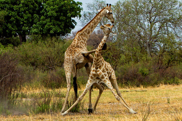 A giraffe lands a karate kick on a rival on the plains of Botswana. (Photo by Thomas Retterath/Caters News)
