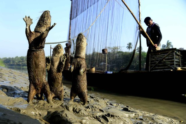 Bangladeshi fisherman feed their otters as they catch fish in Narail some 208 kms from Dhaka on March 11, 2014. The fishermen are using a rare technique that relies on coordination between man and trained otters, a centuries-old fishing partnership that has already long died out in other parts of Asia. (Photo by Munir Uz Zaman/AFP Photo)