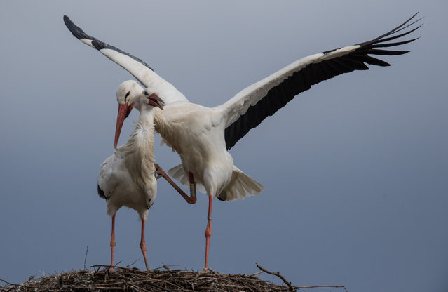 Two white storks copulate in their nest in Biebesheim am Rhein, Germany, 2 March 2017. The male stork climbed onto the female stork. Multiple young storks normally hatch in each nest and travel south with their parents in the late summer. (Photo by Boris Roessler/DPA)