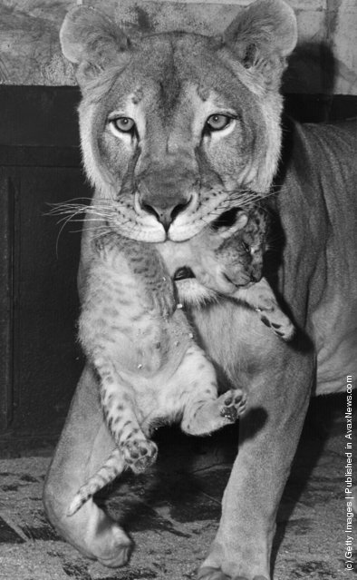 1968: Beatrix, a she-lion at Chessington Zoo, carries her newborn cub