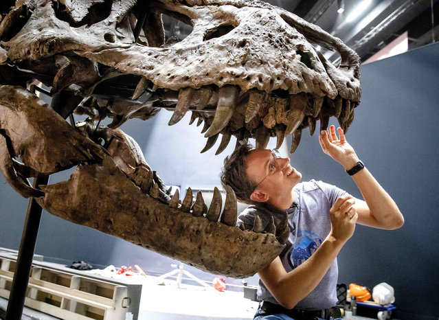 Paleontologist Naturalis Anne Schulp (L) takes part in the construction of the skeleton of the Tyrannosaurus Rex called Trix in Naturalis in Leiden, The Netherlands, on August 6, 2019. After a month-long tour of Europe, T. rex Trix is home in time for the opening of the new museum. (Photo by Bart Maat/ANP/AFP Photo)