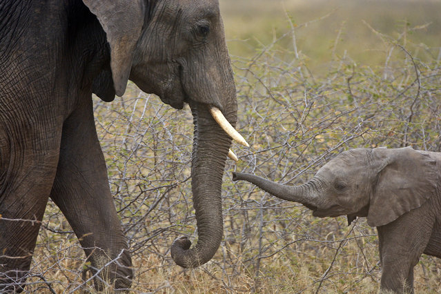 A young elephant and an adult face to face on July, 24, 2015, in Tarangire National Park, Tanzania. Adorable baby elephants wrestle with each other as their mothers stand close by. One of the playful animals appears to try and climb on the other one's back, before tumbling backwards and landing on the floor. Safari guide Hagai Zvulun was on holiday with his two daughters when he spotted the young animals in Tarangire National Park in Tanzania. (Photo by Shy Zvulun/Barcroft Media)