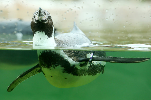 A Humboldt penguin swims through its basin at the zoo in Krefeld, western Germany, on April 30, 2014. (Photo by Roland Weihrauch/AFP Photo/DPA)