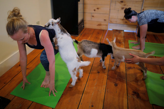 "A goat climbs on instructor Janine Bibeau, from Peace, Love and Applesauce, during a yoga class in Nottingham, U.S. on May 18, 2017. Instructor Janine Bibeau said the animals never fail to delight her students. ""It brings a lighter and more joyful energy to a class"", Bibeau said. ""They make a nice energy in the room. It brings everyone together"". (Photo by Brian Snyder/Reuters)"