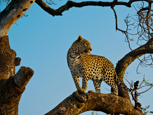 """""""Morning Light"""". This magnificent male leopard was bathed in the hues of the South African sunrise. To say our morning game drive was a success would be a big understatement. Photo location: Hoedspruit, South Africa. (Photo and caption by Douglas Croft/National Geographic Photo Contest)"""