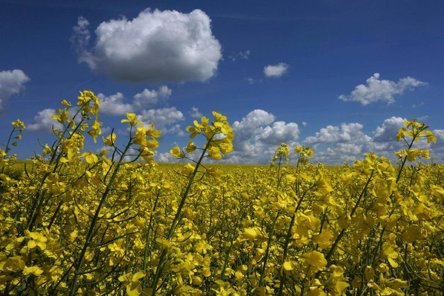 Clouds hang in the blue sky over a rapeseed field not far from the small Bavarian village of Schoengeising, near Munich, during a warm sunny day on May 16, 2017. (Photo by Christof Stache/AFP Photo)