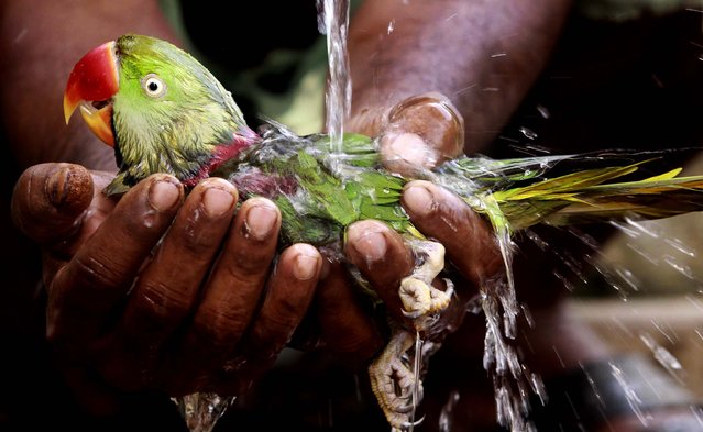 A villager bathes a parrot he rescued by holding it underneath a tap after it fell from a tree on a hot afternoon on the outskirts of Bhubaneswar, India on May 10, 2012