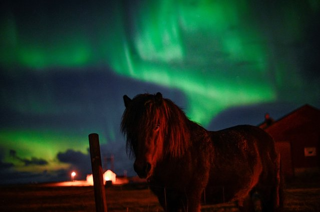 A poney stands under northern lights on September 30, 2018,  in Unstad, Northern Norway. (Photo by Olivier Morin/AFP Photo)