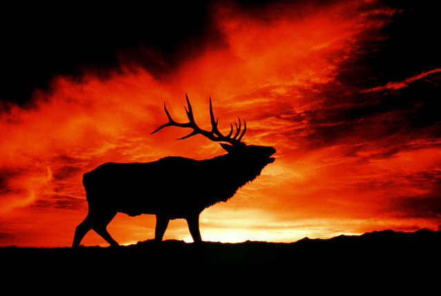 An American elk at sunset. (Photo by Kenneth W. Fink/Caters News/Ardea)