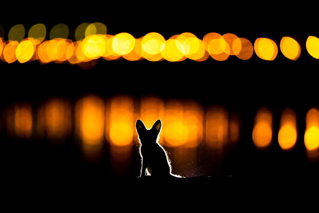 Second place, Mammals. Mohammad Murad – Glowing Fox. An Arabian red fox kitten explores Kuwait City at night just outside its den. (Photo by 2020 GDT Nature Photographer of the Year)