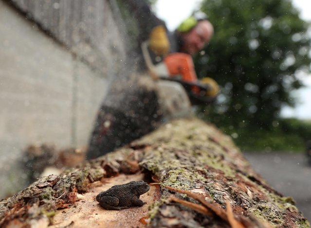 A tree log is seen being cut in the production of cricket bats at Kippax Willow workshop in Methley, near Castleford ahead of the return of county and village cricket following the outbreak of the coronavirus disease (COVID-19), Methley, near Castleford, Britain, July 8, 2020. (Photo by Lee Smith/Reuters)