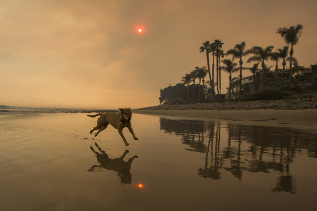 A smoke-filled sky filter orange light around a dog on the beach as the Thomas Fire continues to grow and threaten communities from Carpinteria to Santa Barbara on December 12, 2017 in Carpinteria, California. The Thomas Fire has spread across 365 miles so far and destroyed about 800 structures since it began on December 5 in Ojai, California. (Photo by David McNew/Getty Images)