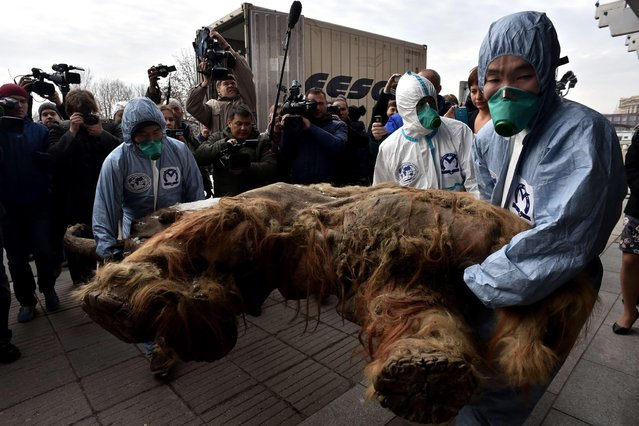 Workers carry the body of a mammoth prior the start of an exhibition of the Russian Geographic Union in central Moscow on October 28, 2014. The mammoth, named is Yuka, is about thirty-eight thousand years old and was found in Yakutia, on the Laptev sea bank in 2010. Researchers call Yuka the best-preserved mammoth in the history of paleontology. It is believed that the permafrost in which she was buried kept her so well intact. (Photo by Kirill Kudryavtsev/AFP Photo)