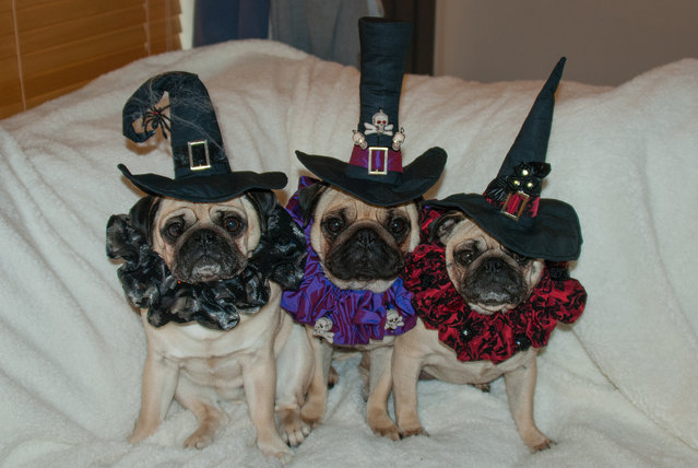 Roxy, Bono and Blue in costumes inspired by Tim Burton's films in Sonoma County, California, 2014. As Halloween draws closer even pugs are dressing up in costumes. But these outfits are unlikely to give anyone nightmares and are more cute than creepy. (Photo by Phillip Lauer/Barcroft Media)