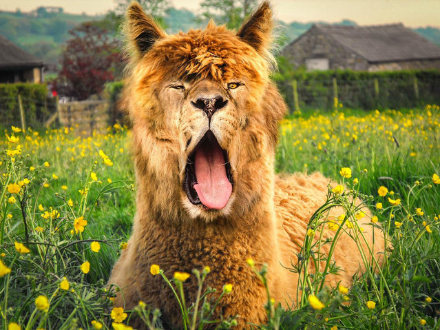 Cross between a lion and a llama. (Photo by Sarah DeRemer/Caters News)
