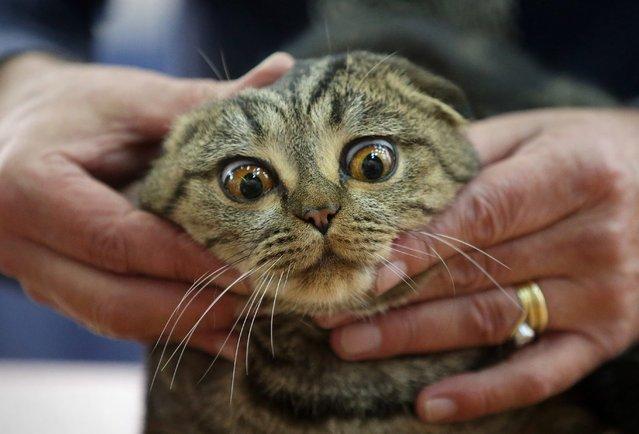 An expert examines a Scottish Fold cat during a cat exhibition in Kiev, Ukraine, 16 November 2014. (Photo by Tatyana Zenkovich/EPA)