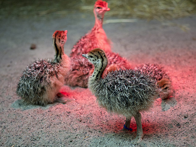 Young ostrich chicks (lat.: Struthio camelus australis) stand underneath a heat lamp at the Zoo in Basel, Switzerland, 18 December 2015. The chicks of the parents Baringo (born 1994) and Manyara (born 1992) were born on December 15, 2014. (Photo by Georgios Kefalas/EPA)