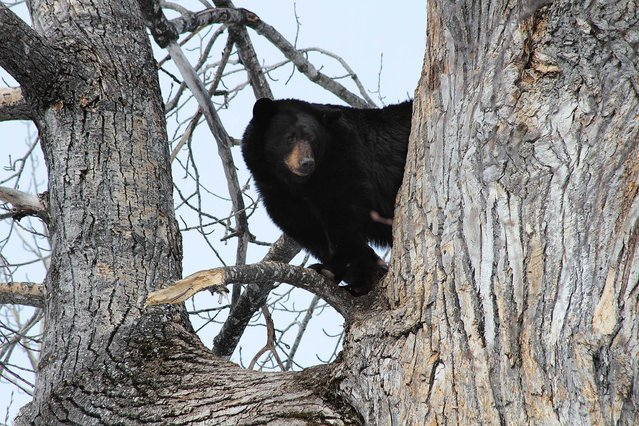 A black bear watches a gathering crowd of people from a safe perch in a tree high above the Campbell Creek trailhead in Anchorage, Alaska, on April 21, 2013. (Photo by Mark Thiessen/Associated Press)