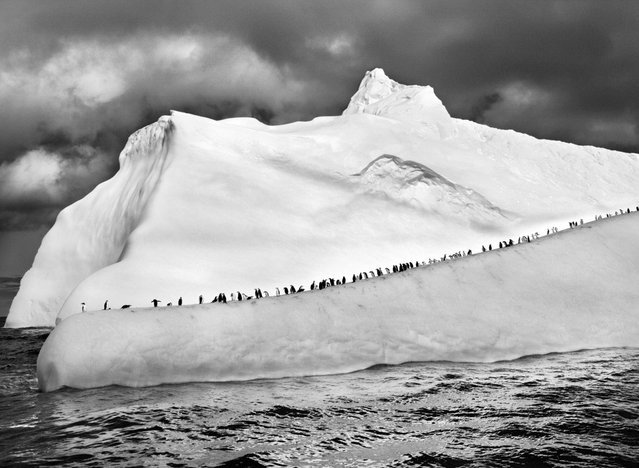 Chinstrap penguins line up along an iceberg as it floats among the South Sandwich Islands in the far South Atlantic. (Photo by Sebastião Salgado/Amazonas/Contact Press Images)