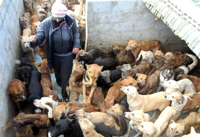 Annie Orfalian, 45, walks near dogs at her dog shelter in Damascus, Syria on December 7, 2020. (Photo by Feras Makdesi/Reuters)