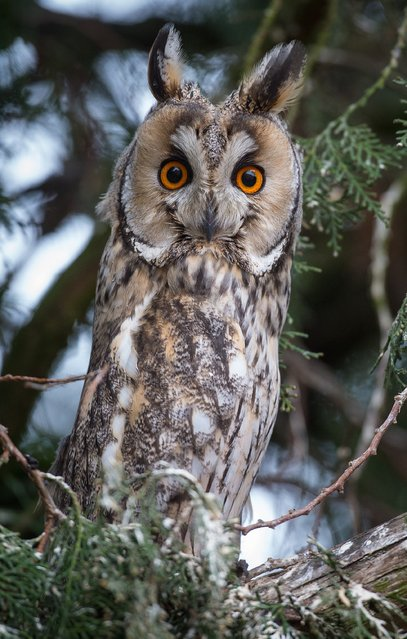 A long-eared owl (Asio otus) sits in a tree near Seelow in the district of Maerkisch-Oderland in eastern Germany, Saturday, January 3, 2015. (Photo by Patrick Pleul/AP Photo/DPA)