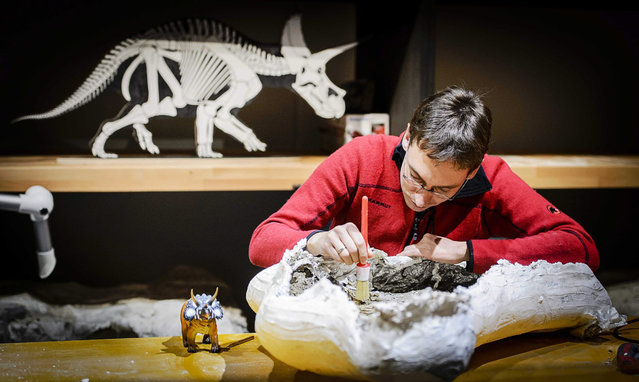 A member of the Leiden Museum Naturalis unpacks and cleans the bones of a 66 million-year-old dinosaur species Triceratops in Leiden, The Netherlands, 09 December 2015. An expedition team of Naturalis excavated in the state of Wyoming a whopping five skeletons in September last year. This was the first time the bones were shown. (Photo by Remko De Waal/EPA)