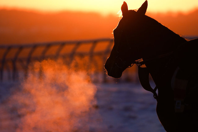 A race horse is given it's daily exercise on Middleham gallops in North Yorkshire on February 11, 2021 in Middleham, England. Horse racing stables based in and around Middleham exercise race horses on the gallops every day, in all weathers. (Photo by Ian Forsyth/Getty Images)