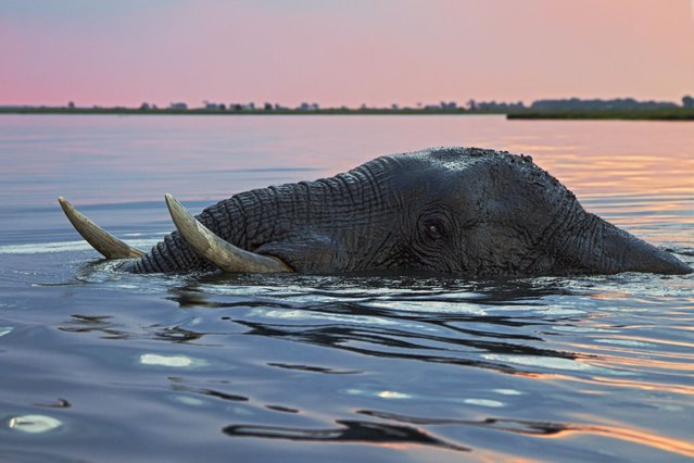The huge bull elephant is not phased by the river blocking its path. Just its giant white tusks and trunk can be seen as it paddles for ten minutes under the slow-flowing river. Nature photographer Vincent Grafhorst travelled to the Chobe River, Botswana, to capture the special moment. (Photo by Vincent Grafhorst/Solent News & Photo Agency)