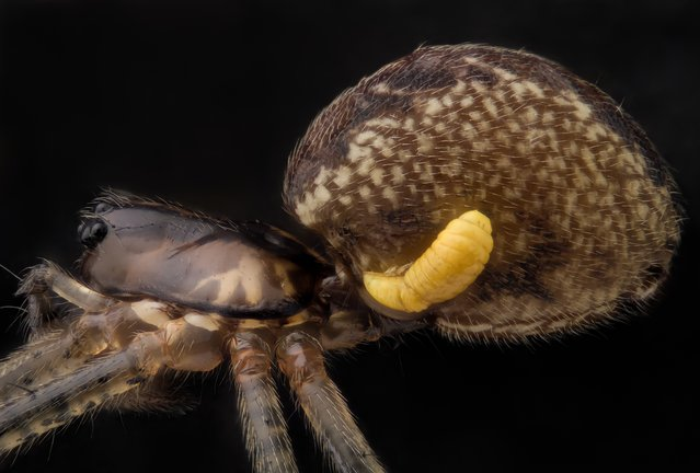 Mr. Geir Drange, of Asker, Norway, took this image of a sheet weaver spider (Pityohyphantes phrygianus) with a parasitic wasp larva on its abdomen, magnified five times. (Photo by Geir Drange)