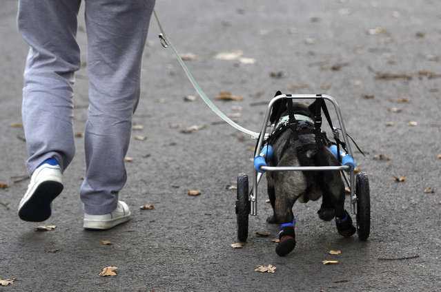 French bulldog Billy runs with its owner while wearing a medical roll car from 'Rehatechnik fuer Tiere' (medical engineering for animals) in Witten, Germany November 9, 2012. Four-year old Billy's hind legs have been paralyzed since birth. (Photo by Ina Fassbender/Reuters)