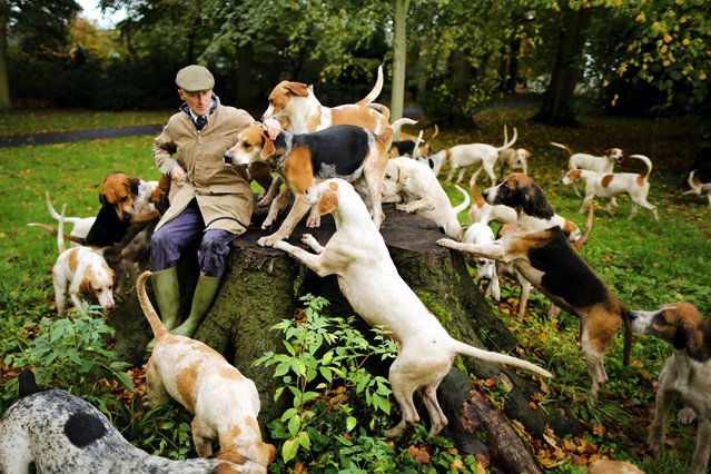 Huntsman Andrew German of The Cheshire Forest Hunt exercises his hounds in preparation for the start of the new hunting season, on November 1, 2013. (Photo by Christopher Furlong/Getty Images)