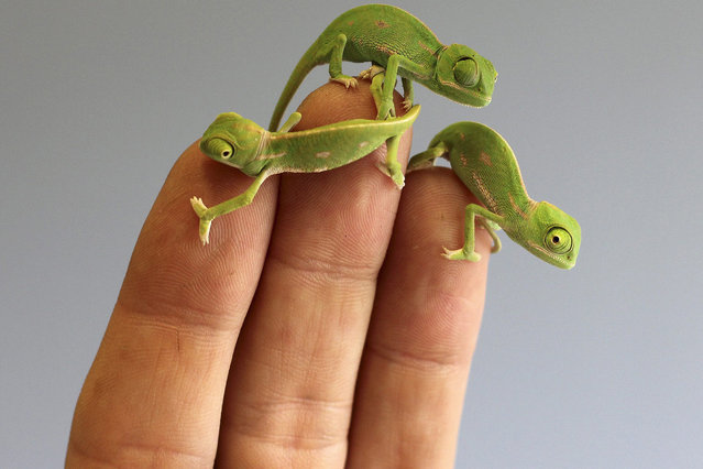 A handout image released by the Taronga Zoo shows Veiled Chameleon hatchlings at Taronga Zoo in Sydney, Australia, 11 March 2015. Taronga has welcomed more than 20 baby chameleons, with the last of three clutches of eggs hatching this week. Veiled Chameleons, or Chamaeleo calyptratus, are native to Saudi Arabia and Yemen and can live up to five years. (Photo by EPA/Taronga Zoo)