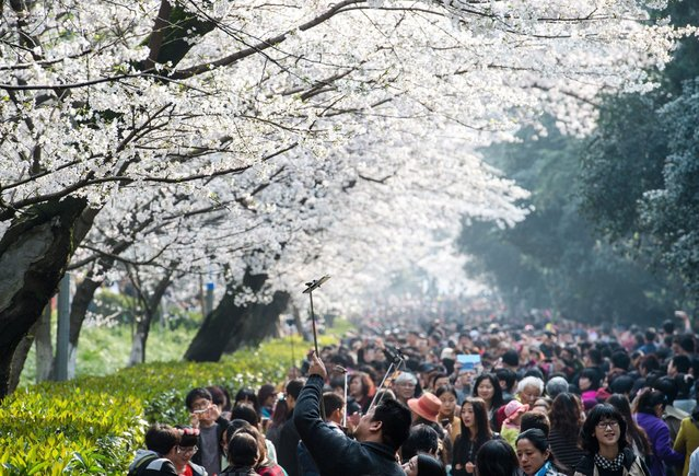 This picture taken on March 21, 2015 shows visitors walking amongst the cherry blossoms in Wuhan in central China's Hubei province.  The cherry blossoms, now in full bloom, attracted tens of thousands of visitors, local media reported. (Photo by AFP Photo/Stringer)