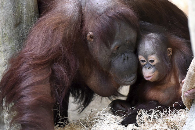 In this March 18, 2015 photo provided by the Chicago Zoological Society, Kecil, a 1-year-old orangutan, has the attention of his surrogate mom, Maggie, at Brookfield Zoo's Tropic World in Brookfield, Ill. (Photo by Jim Schulz/AP Photo/Chicago Zoological Society)