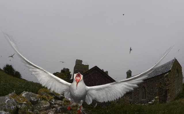 An arctic tern swoops down from the sky above the Farne Islands off the Northumberland coast, northern England July 8, 2013. (Photo by Nigel Roddis/Reuters)