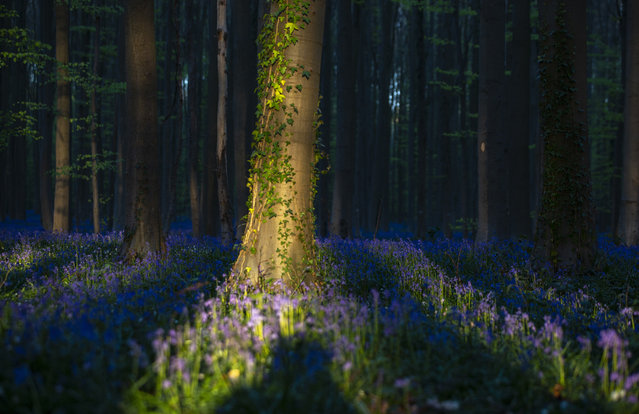 Bluebells, also known as wild Hyacinth, bloom in the Hallerbos forest in Halle, Belgium, Thursday April 16, 2020. Bluebells are particularly associated with ancient woodland where it can dominate the forest floor to produce carpets of violet–blue flowers. (Photo by Virginia Mayo/AP Photo)