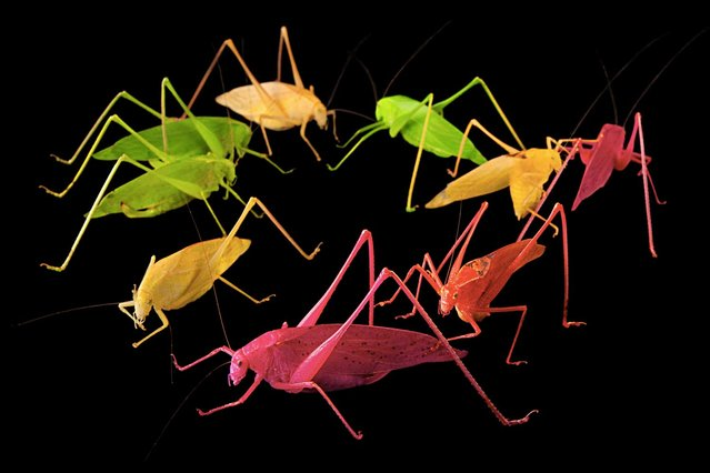 Katydids (pictured) are oblong-winged insects. Most of them are green, but a few have been found sporting bright colors: yellow, orange, even hot pink. Geneticists aren't sure why. Entomologists suspect erythrism, an anomaly similar to albinism. Scientists working with a related species in Japan point to genetics over environmental factors. Meantime, recent mating trials in New Orleans have posited green as a recessive trait – good camouflage just makes them fittest for survival. Meaning it's easier being green. (Photo by Joel Sartore/National Geographic)