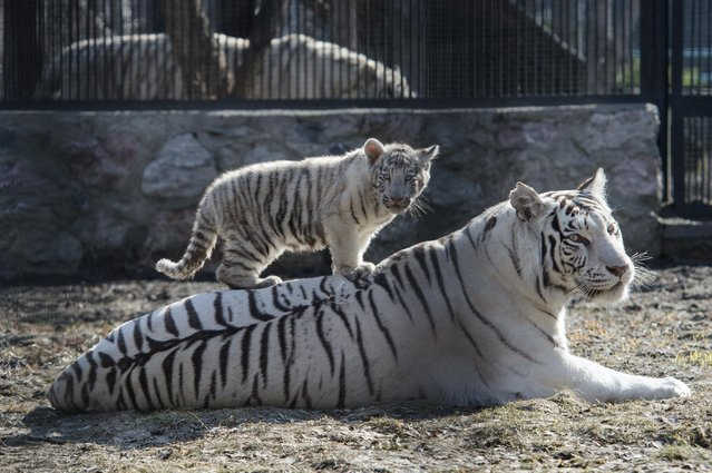A white Bengal tiger cub plays with its mother in a zoo in the Siberian city of Novosibirsk, about 2,800 kilometers (1,750 miles) east of Moscow, Russia, Tuesday, April 21, 2015. Two blue-eyed Bengal tiger cubs were born in March to a couple of white tigers at Novosibirsk zoo. (Photo by Ilnar Salakhiev/AP Photo)